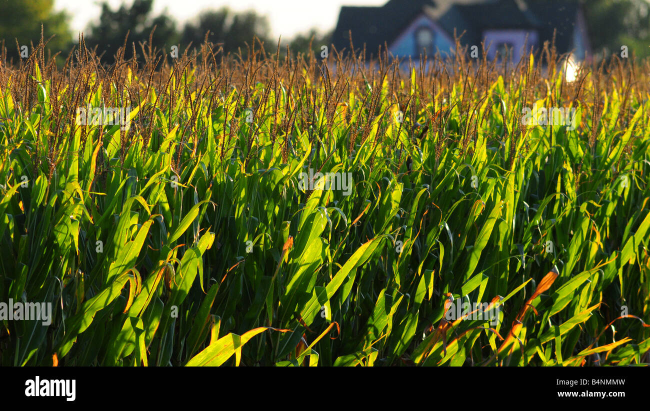 Illinois cornfield and farm house in late summer before harvest Stock Photo