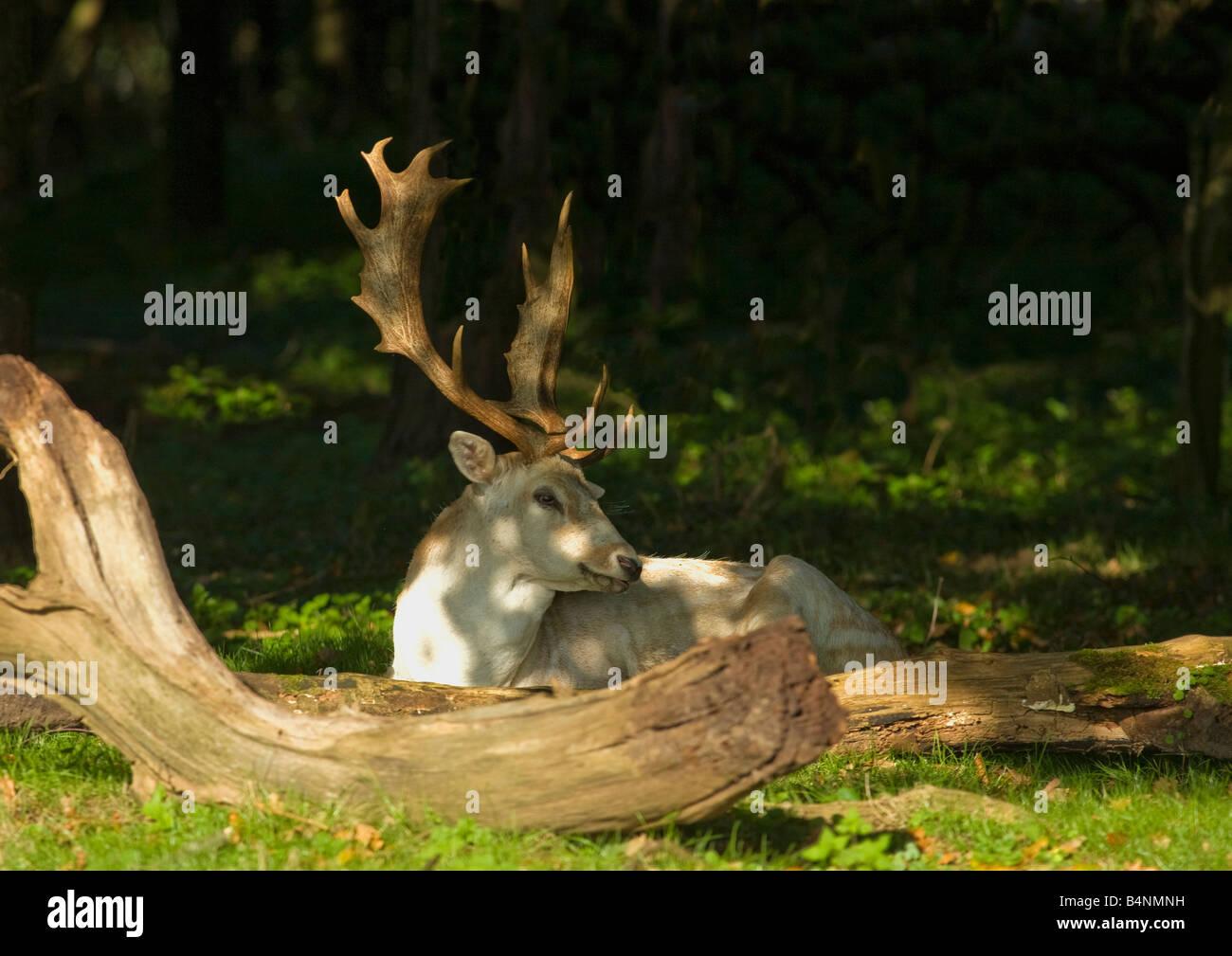 Fallow deer buck resting in sun in woodland Shropshire England UK United Kingdom GB Great Britain British Isles - Stock Image