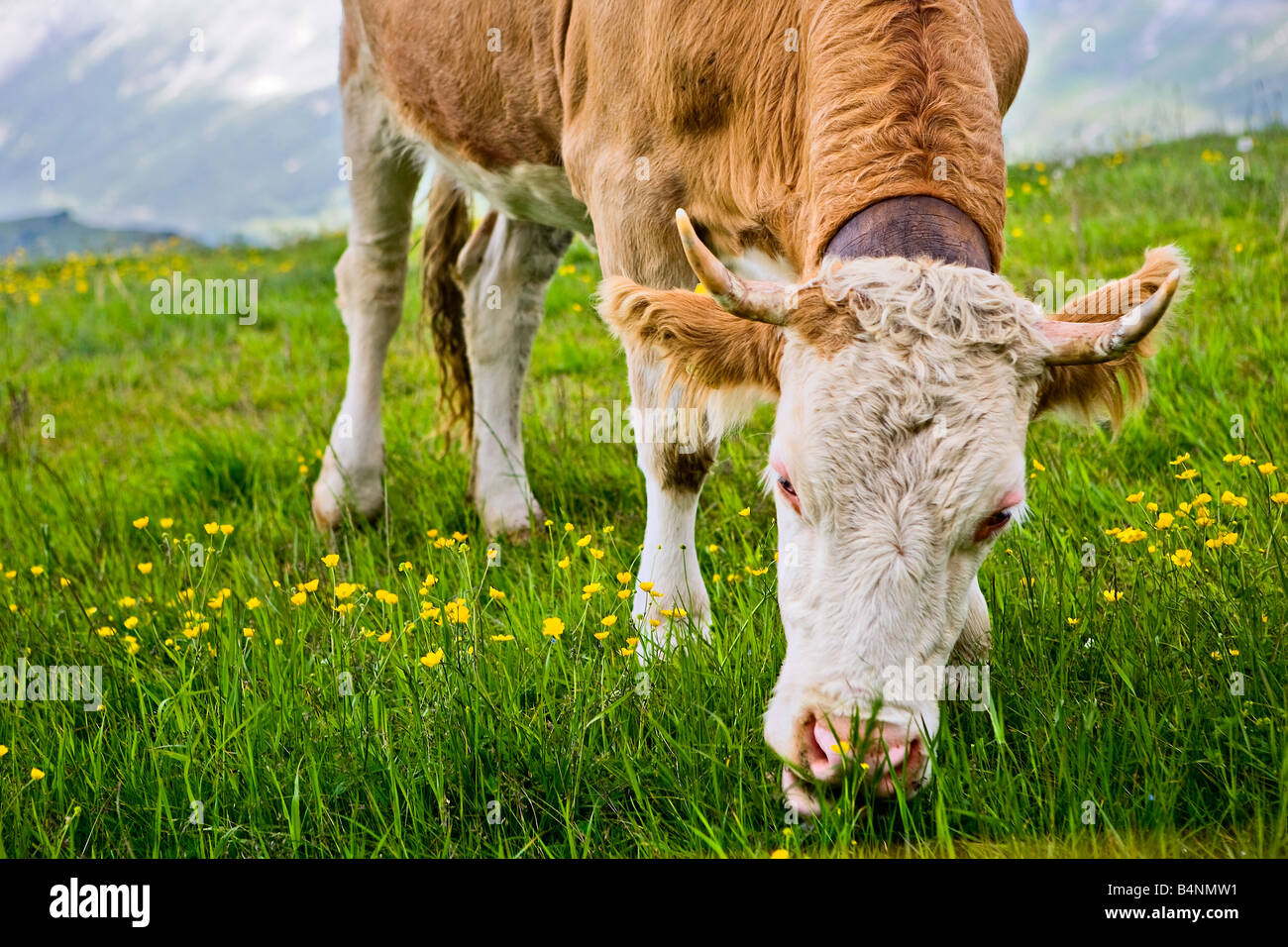 cow eating grass - Swiss Alps - Stock Image