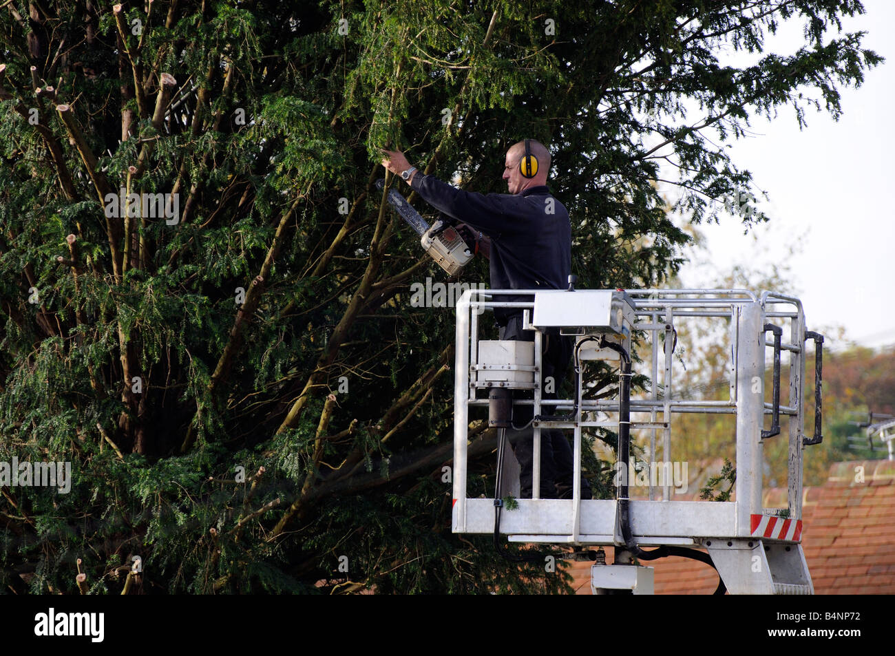 Tree surgeon using a chain saw from a cherrypicker mobile platform to cut a Yew tree - Stock Image