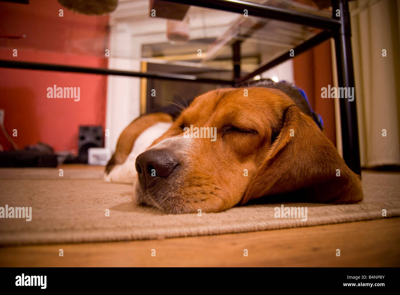 A cute beagle puppy sleeping on the floor in the living room Stock Photo