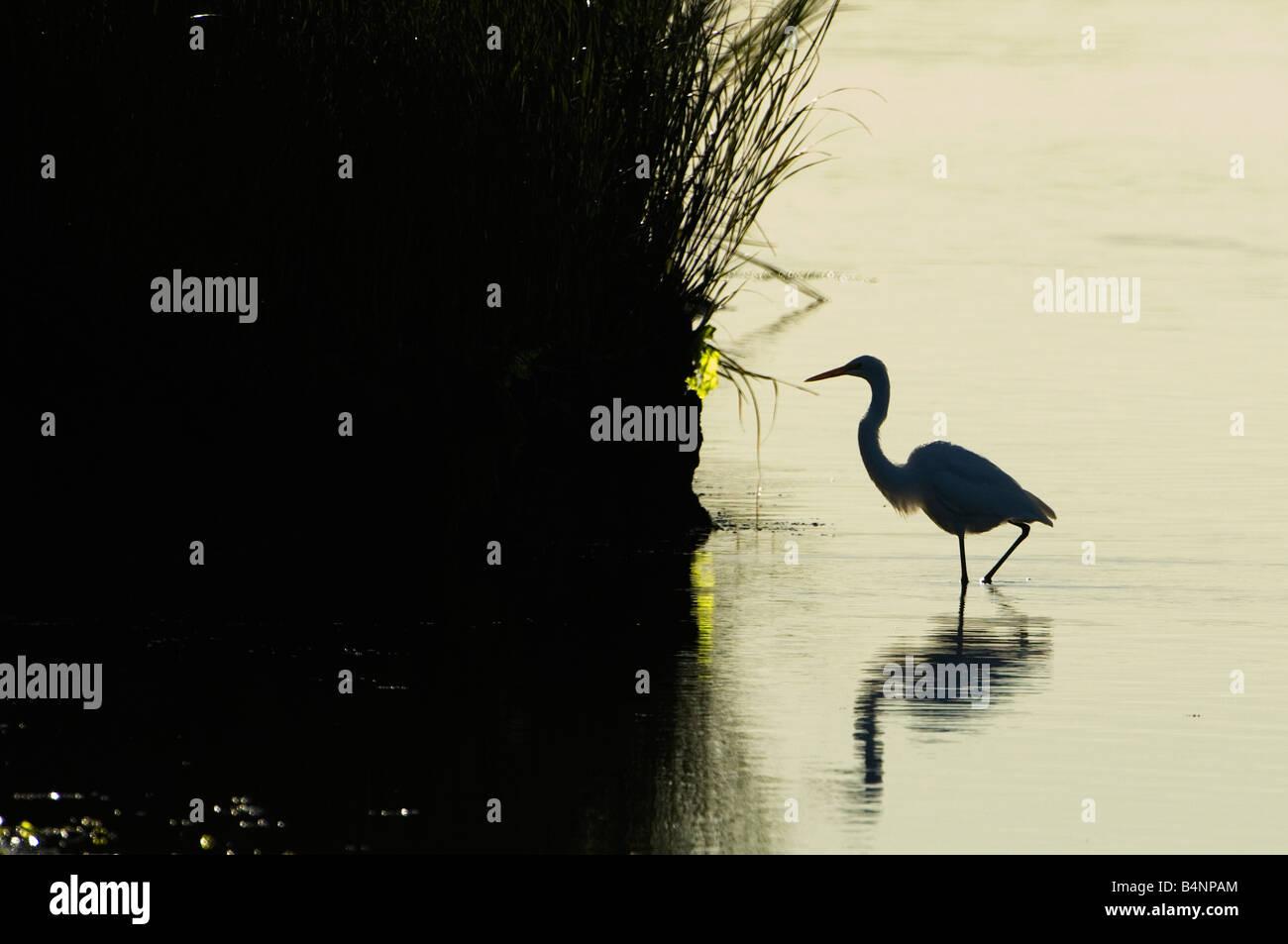 great egret silhouette in salt marsh habitat stock photo 20147532