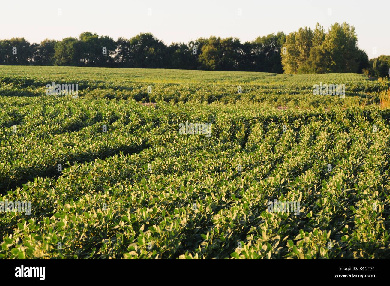 Illinois soybean or soy bean farm field - Stock Image