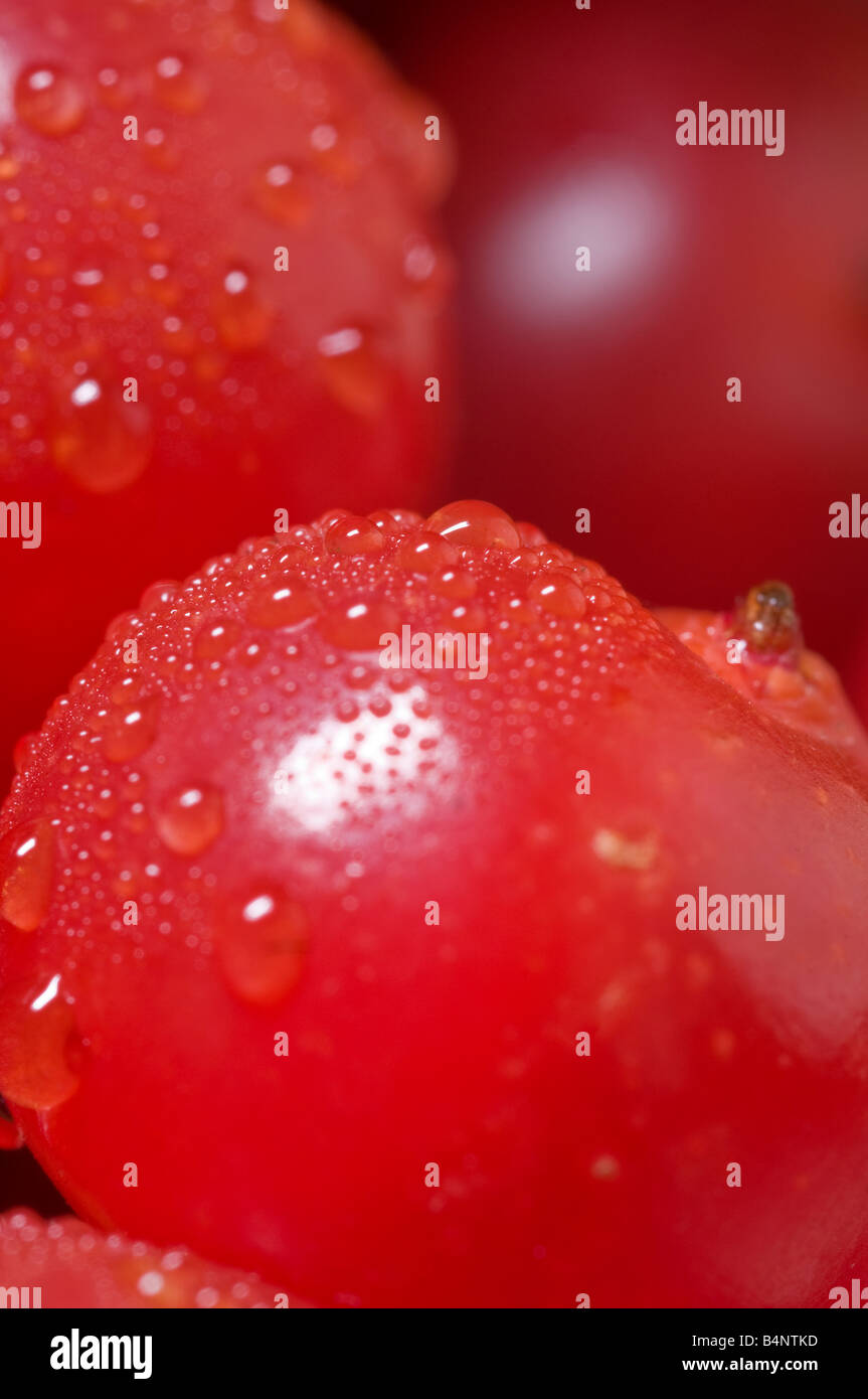 Red berries of the broard-leaved Whitebeam. - Stock Image