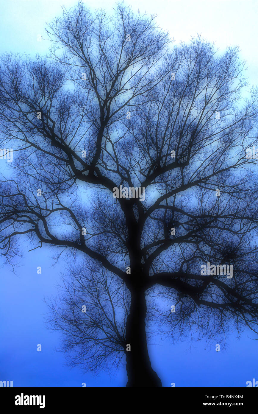 Blue monochrome tree silhouette in foggy atmosphere Stock Photo