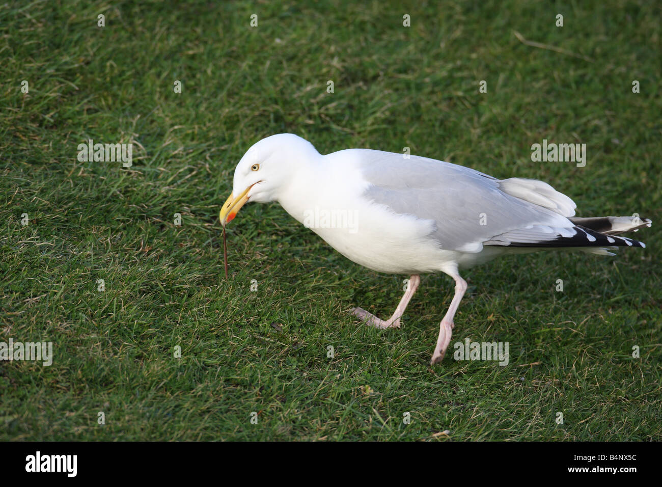 HERRING GULL Larus argentatus PULLING WORM FROM LAWN NORTH WALES FEB 08 - Stock Image
