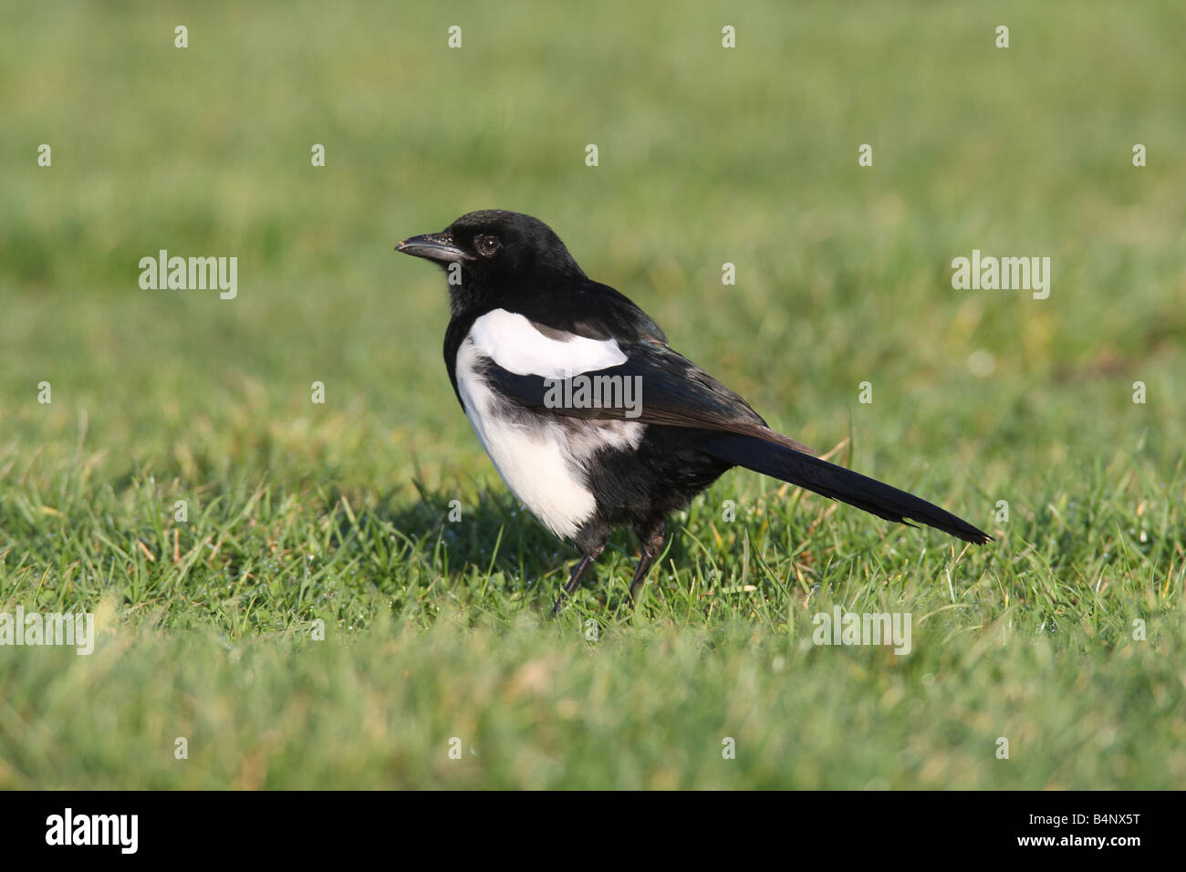 MAGPIE Pica pica STANDING ON LAWN SIDE VIEW - Stock Image