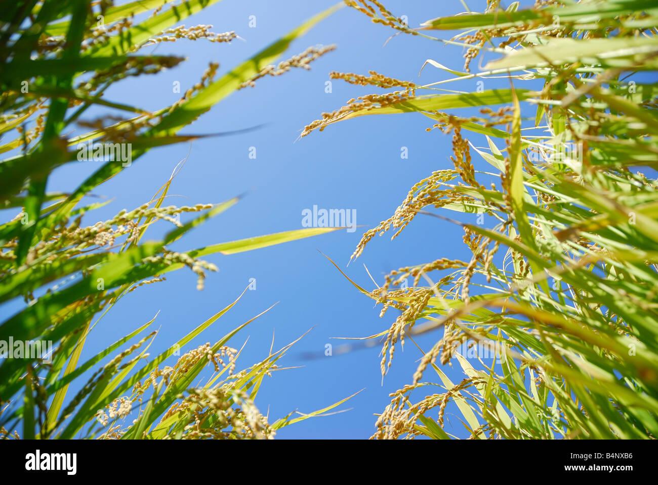 rice plants - Stock Image