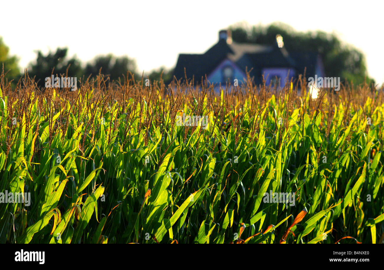 Illinois cornfield and farm house in late summer before harvest - Stock Image
