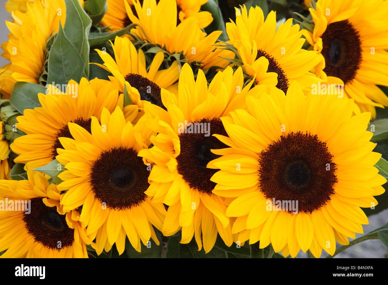 Bunch of sunflowers.Helianthus annuus - Stock Image