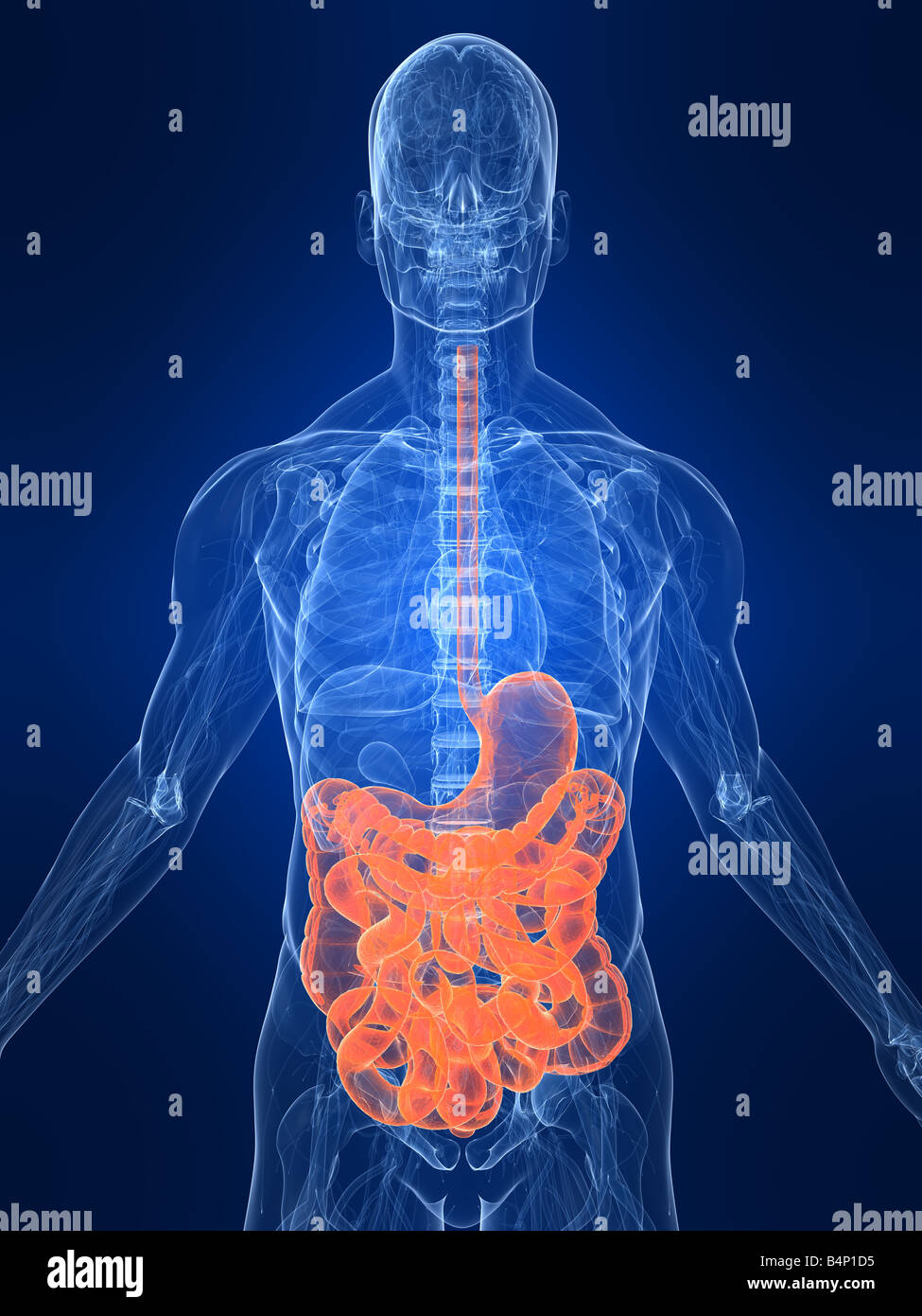Gastric System Stock Photos Gastric System Stock Images Alamy
