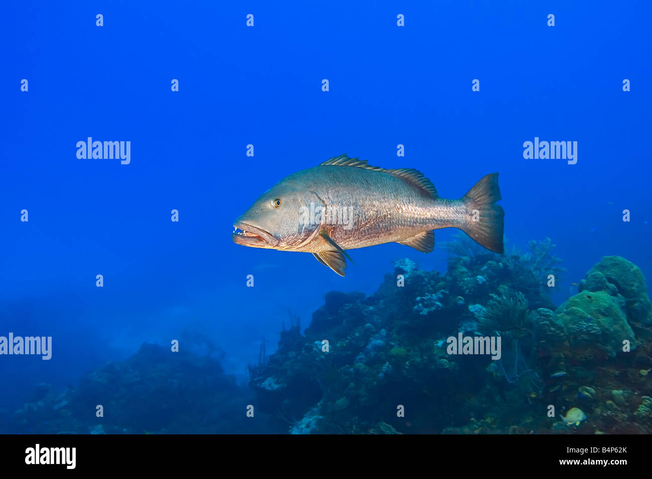 cubera snapper, Lutjanus cyanopterus, large adult, over 5 feet long, weighing over 100 plus pounds, vulnerable species, - Stock Image