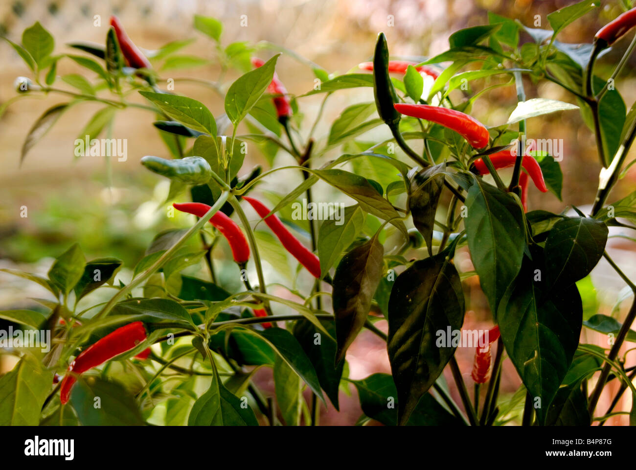 Red Chilli Peppers growing from a chilli plant - Stock Image