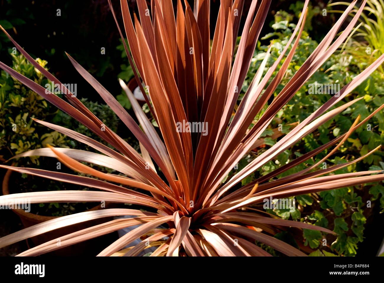 Brown palm tree with green leaves in the background - Stock Image