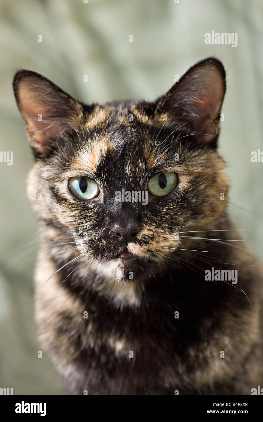 Portrait of a Brindle cat - Stock Image