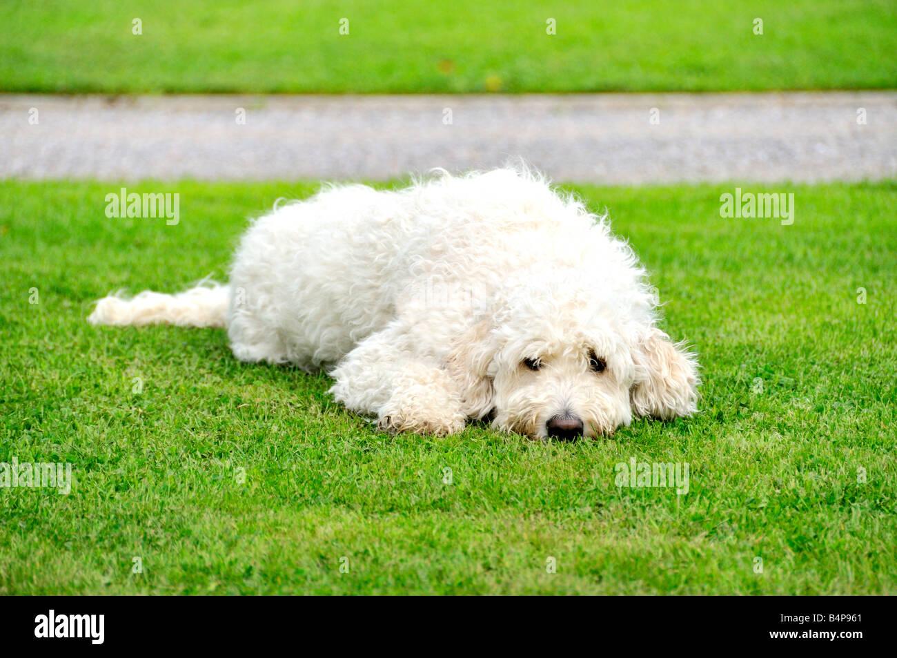 White goldendoodle dog sitting lying outside on grass Stock Photo