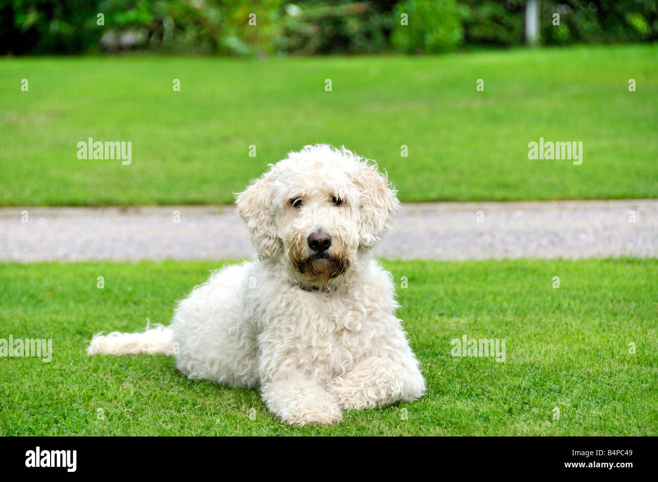 White goldendoodle dog sitting lying outside on grass Stock