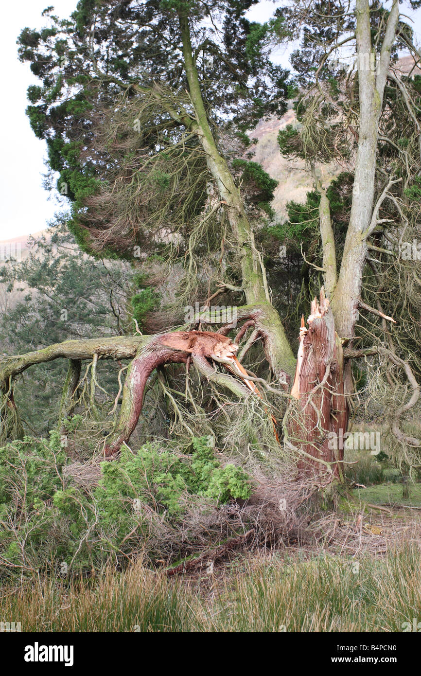 STORM DAMAGE TO CONIFER TREE CADER IDRIS WALES - Stock Image