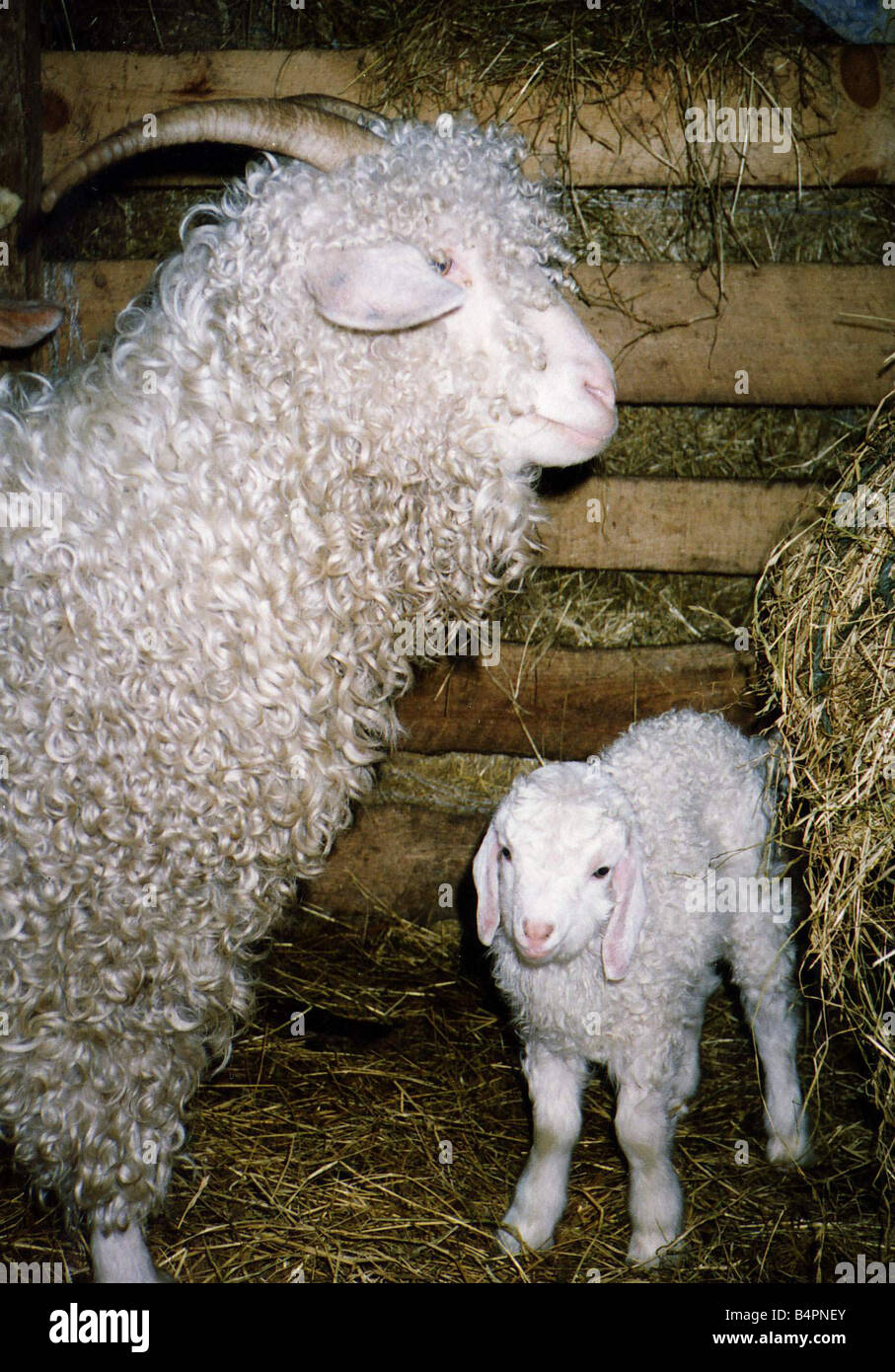 Stock Photo, Royalty-Free Image Prices and Plans - Shutterstock   Vintage  illustration, Angora goats, Royalty free images