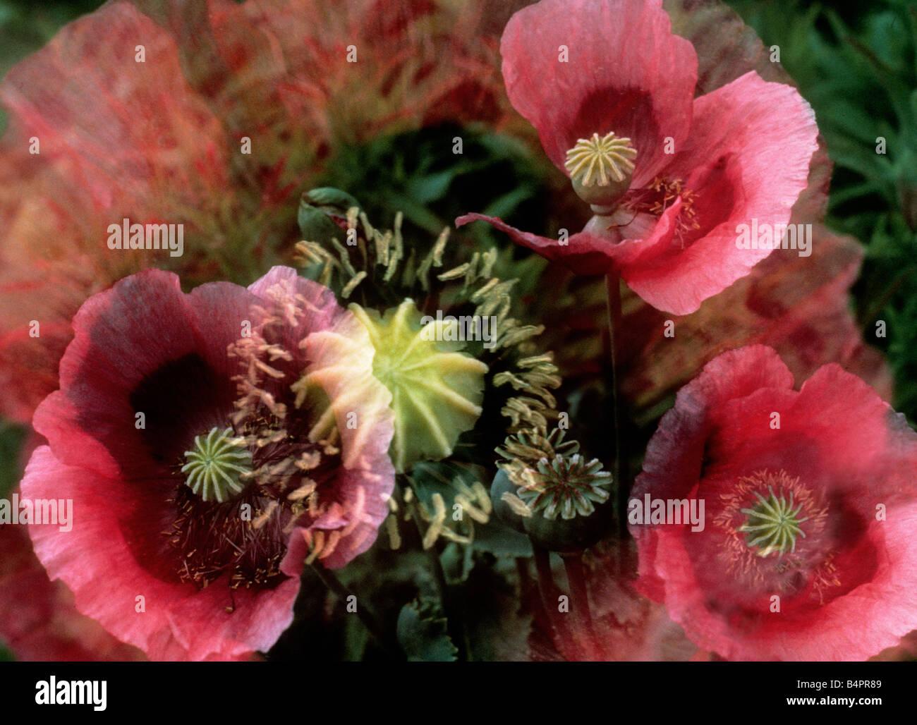 Red Poppies Sandra Baker - Stock Image