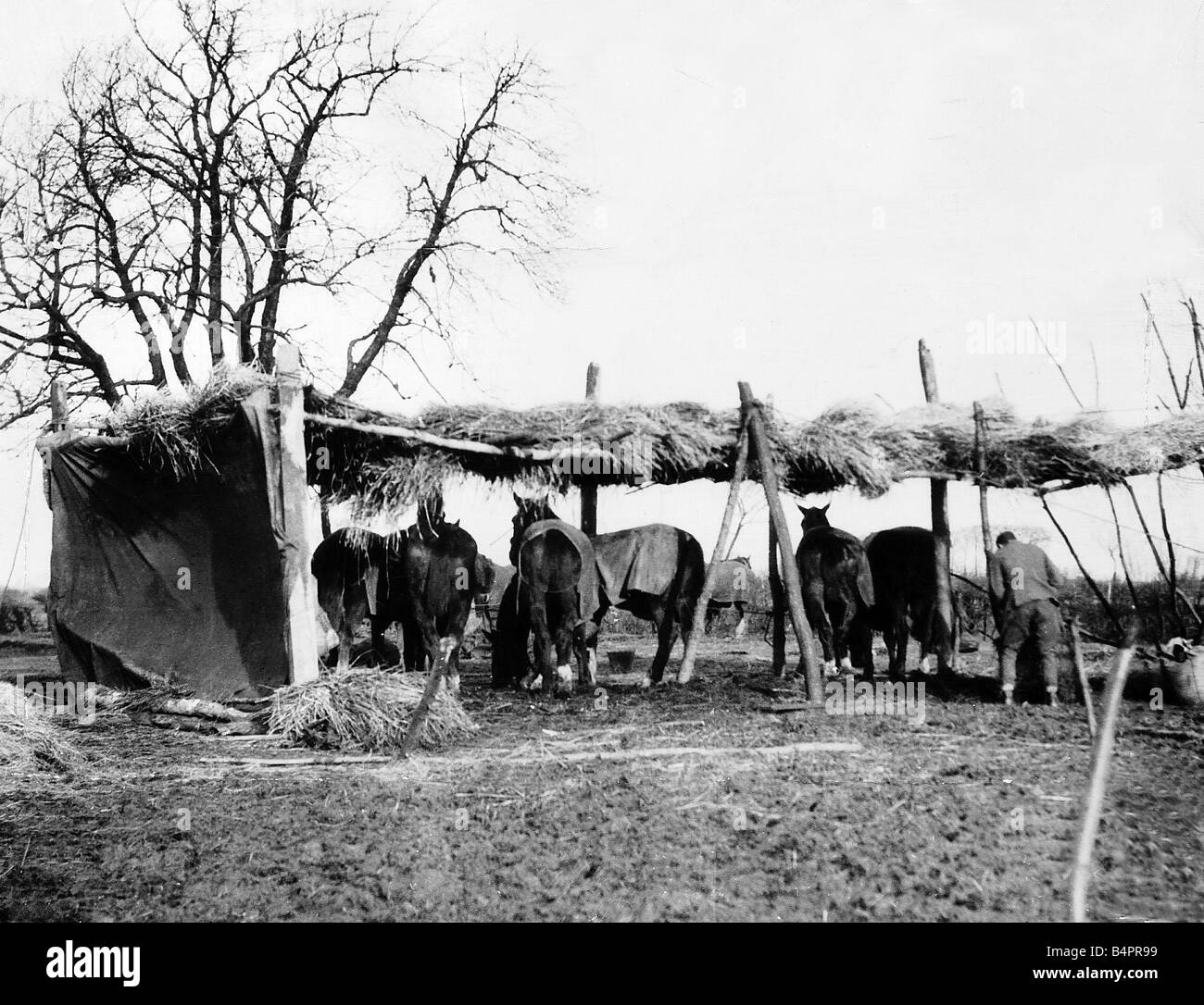 A make shift shelter for horses at the Western Front 1915 during World War One - Stock Image