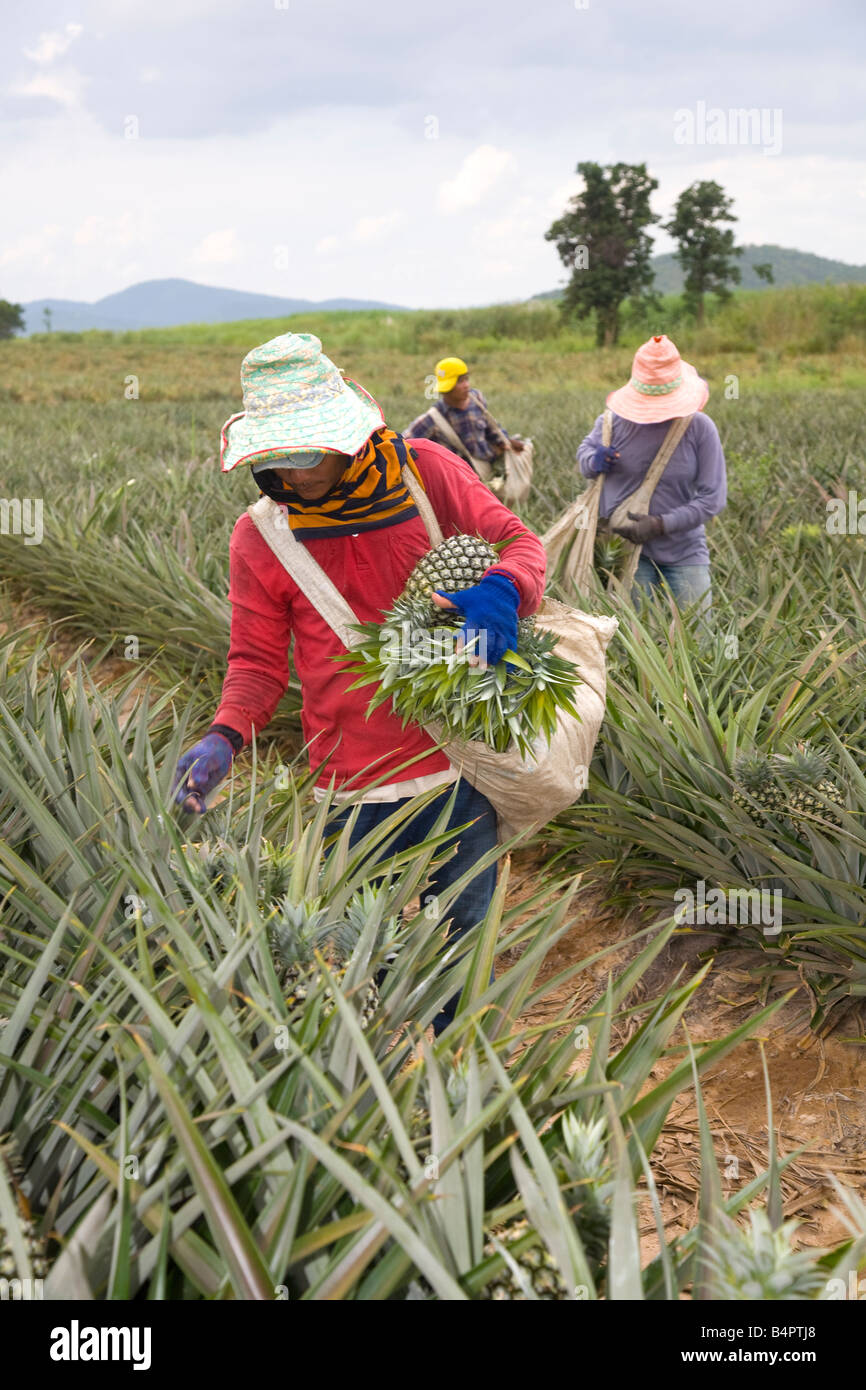 Fruit Picking Asian Workers Picking Pineapple Crop From
