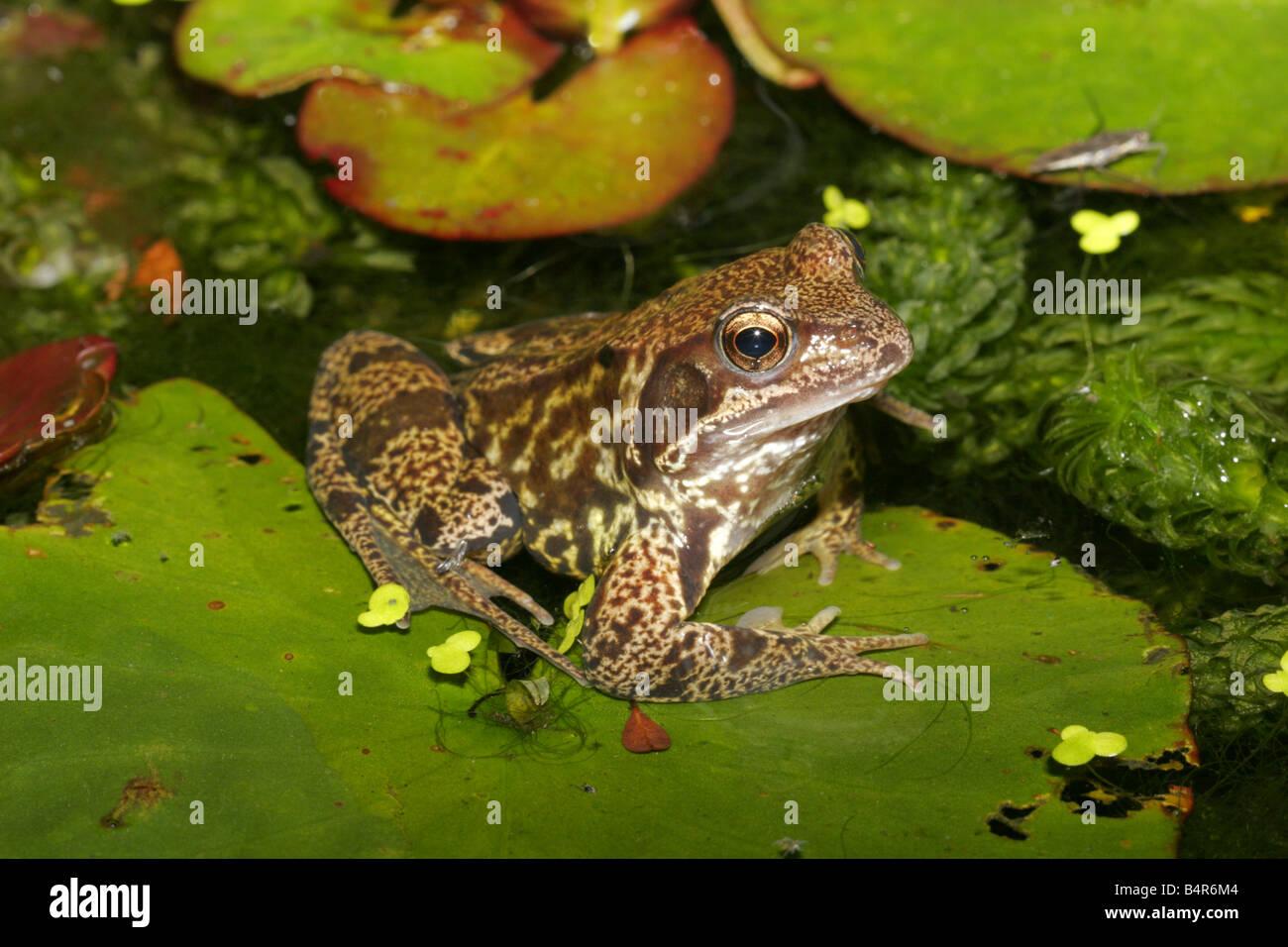 Common Frog Rana temporaria single adult resting on waterlily leaf in garden pond Taken June London UK - Stock Image