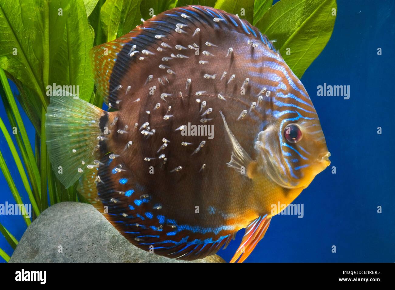 Aninimal Book: Breeding Cichlid Stock Photos & Breeding Cichlid Stock ...