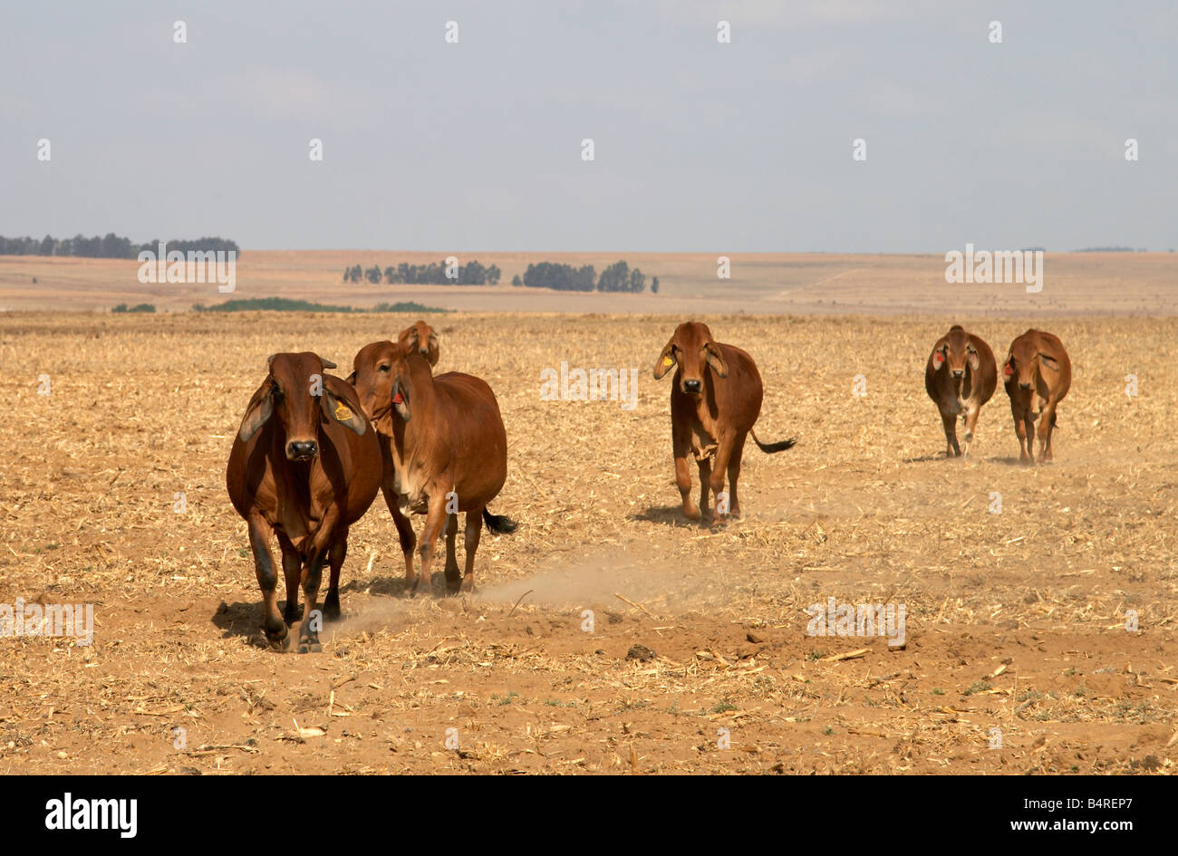 Red Brahman cattle on a farm in South Africa - Stock Image