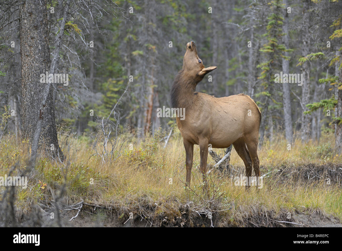 Elk Pose - Stock Image