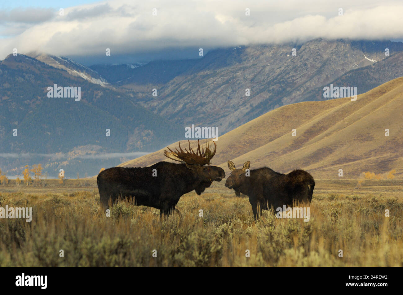 Moose Mates - Stock Image