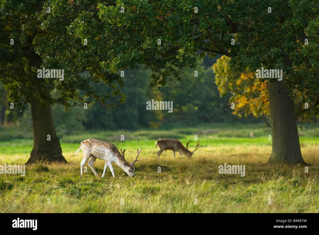Fallow deer buck grazing in english meadow and woodland Shropshire England UK United Kingdom GB Great Britain British - Stock Image