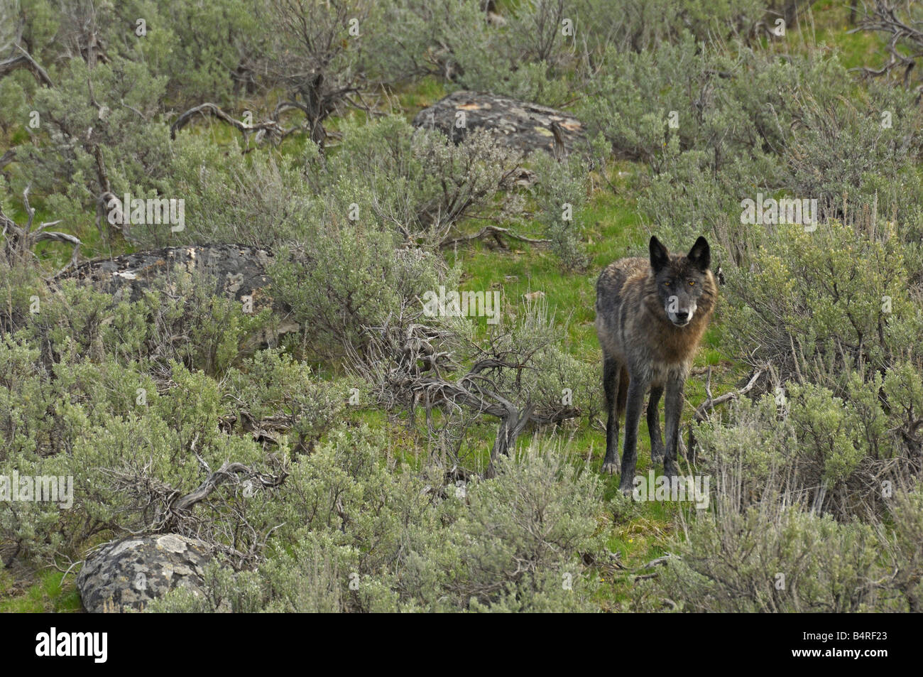 Black Wolf in the Sage - Stock Image