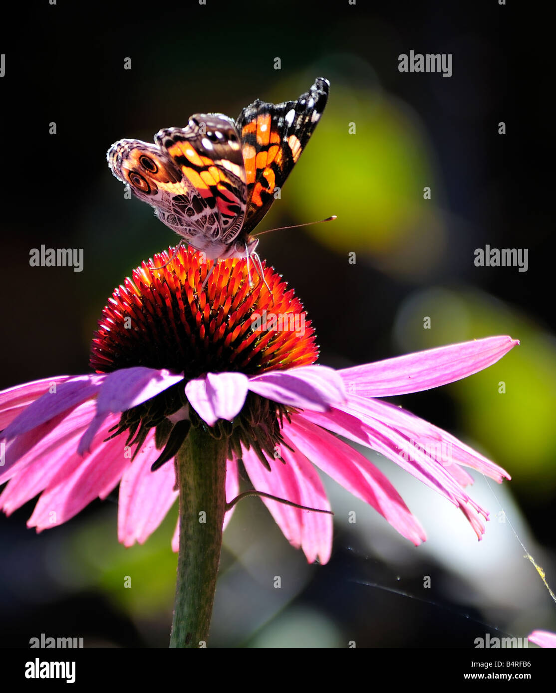 Painted Lady butterfly, Vanessa cardui, on a purple coneflower, Echinacea. Oklahoma, USA. - Stock Image