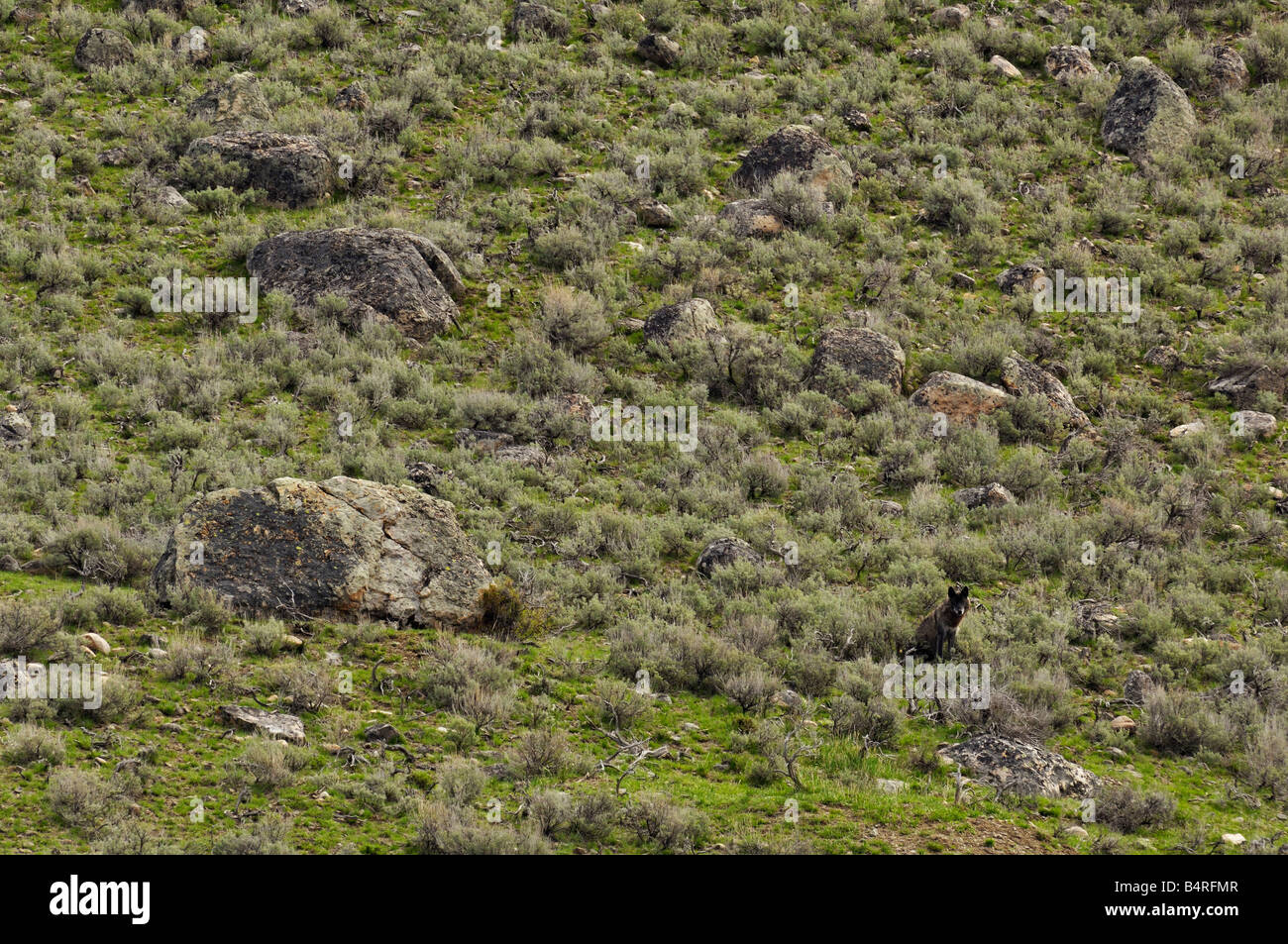 Black Wolf Blends into the Landscape - Stock Image