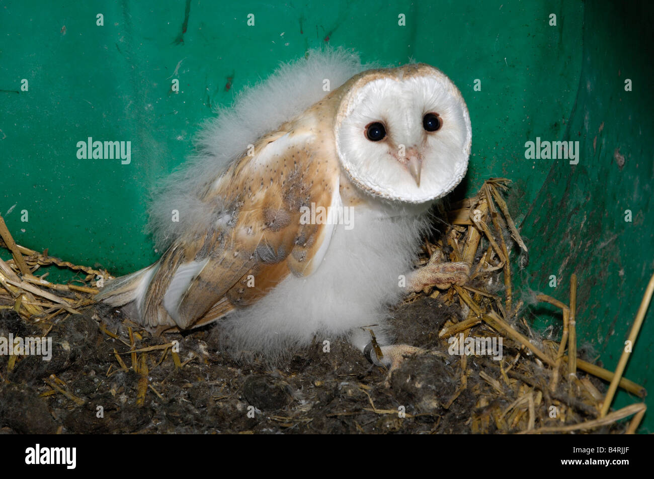 barn owl chick owlet in a owl box stock photo 20188519 alamy