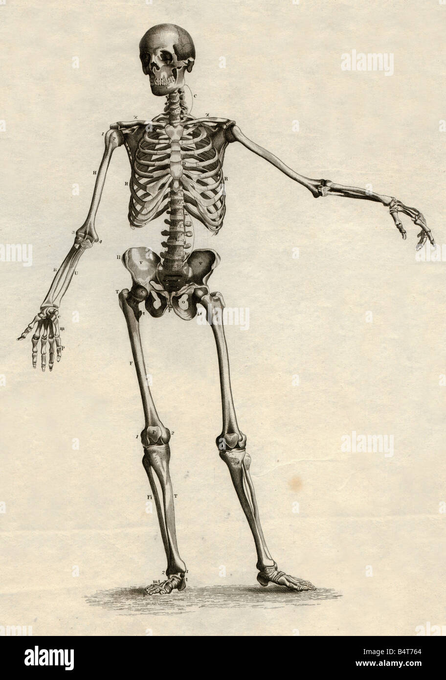 medicine, anatomy, skeleton / bones, skeleton, steel engraving, Schweinfurt, Germany, second half of the 19th century, - Stock Image