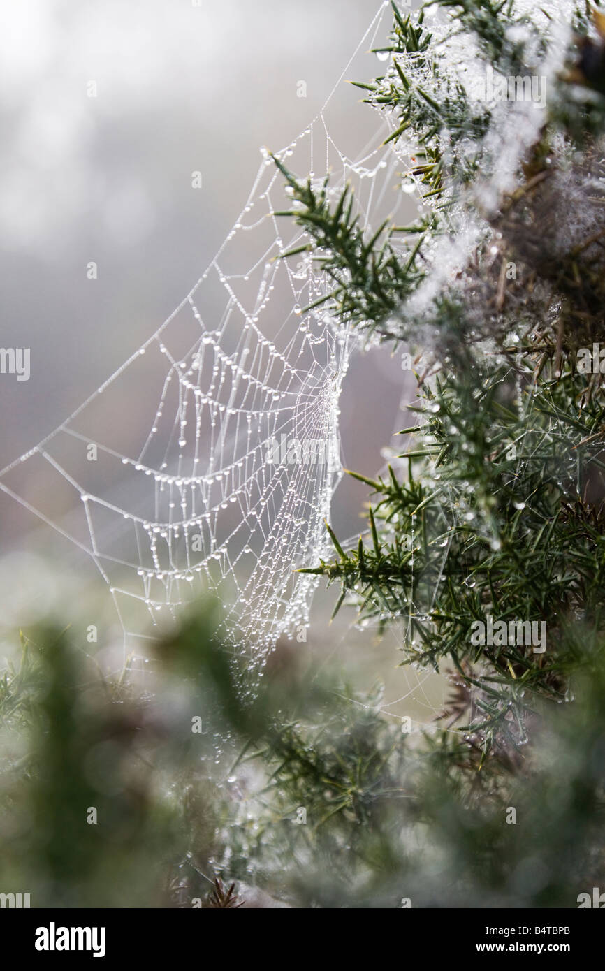 A gorse bush and cobweb covered in dew. Misty morning in the New Forest. Hampshire. UK - Stock Image