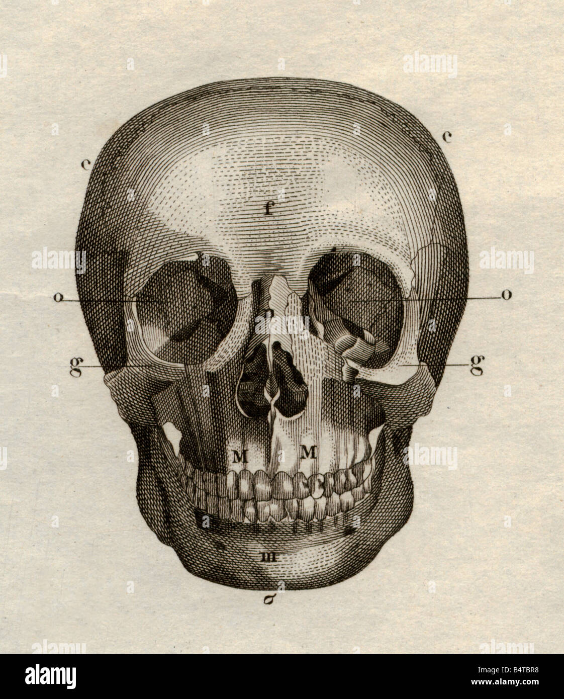 medicine, anatomy, skeleton / bones, skull, frontal view, steel engraving, Schweinfurt, Germany, second half of - Stock Image