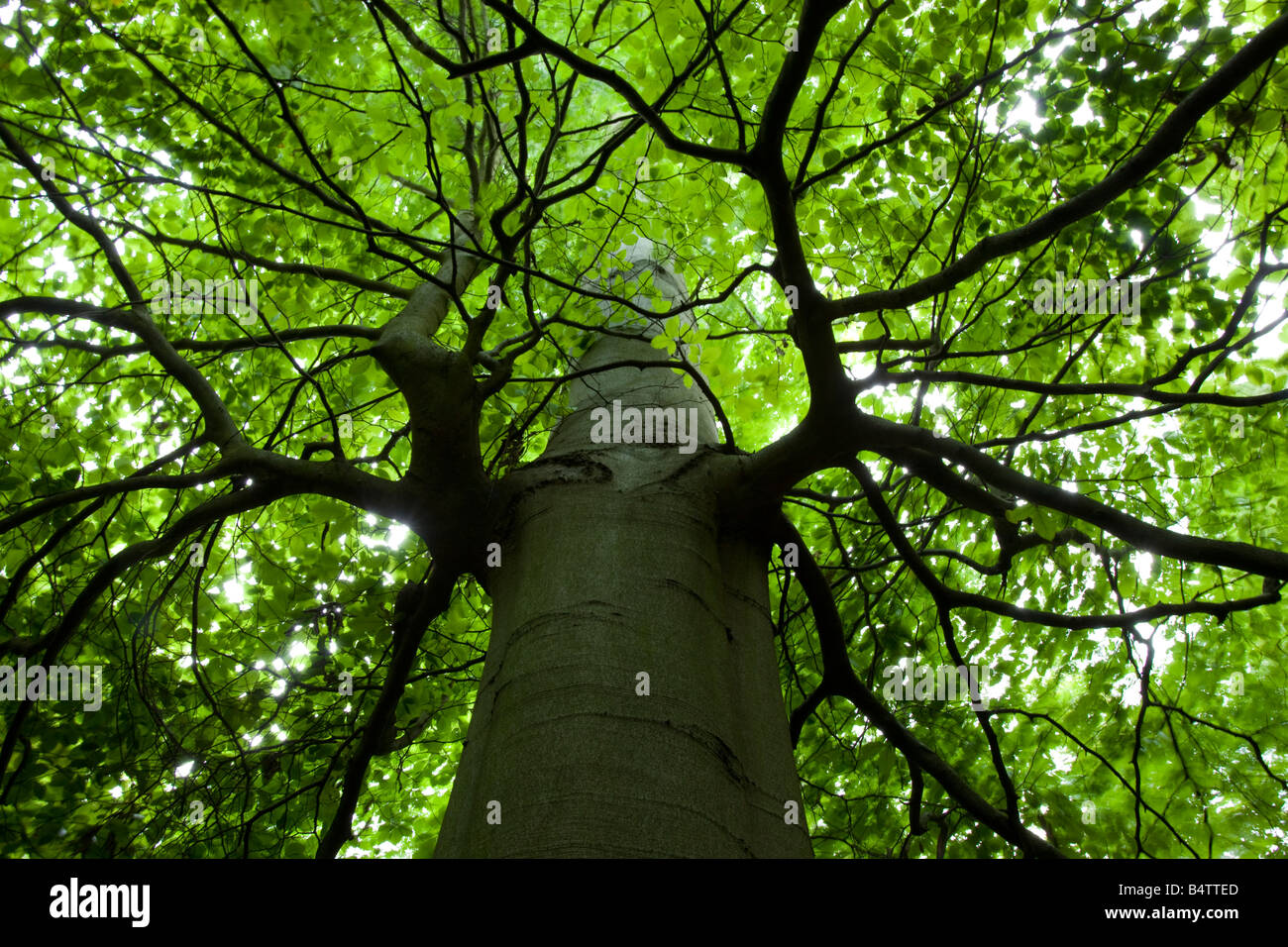 UK Interior of Beech wood - Stock Image