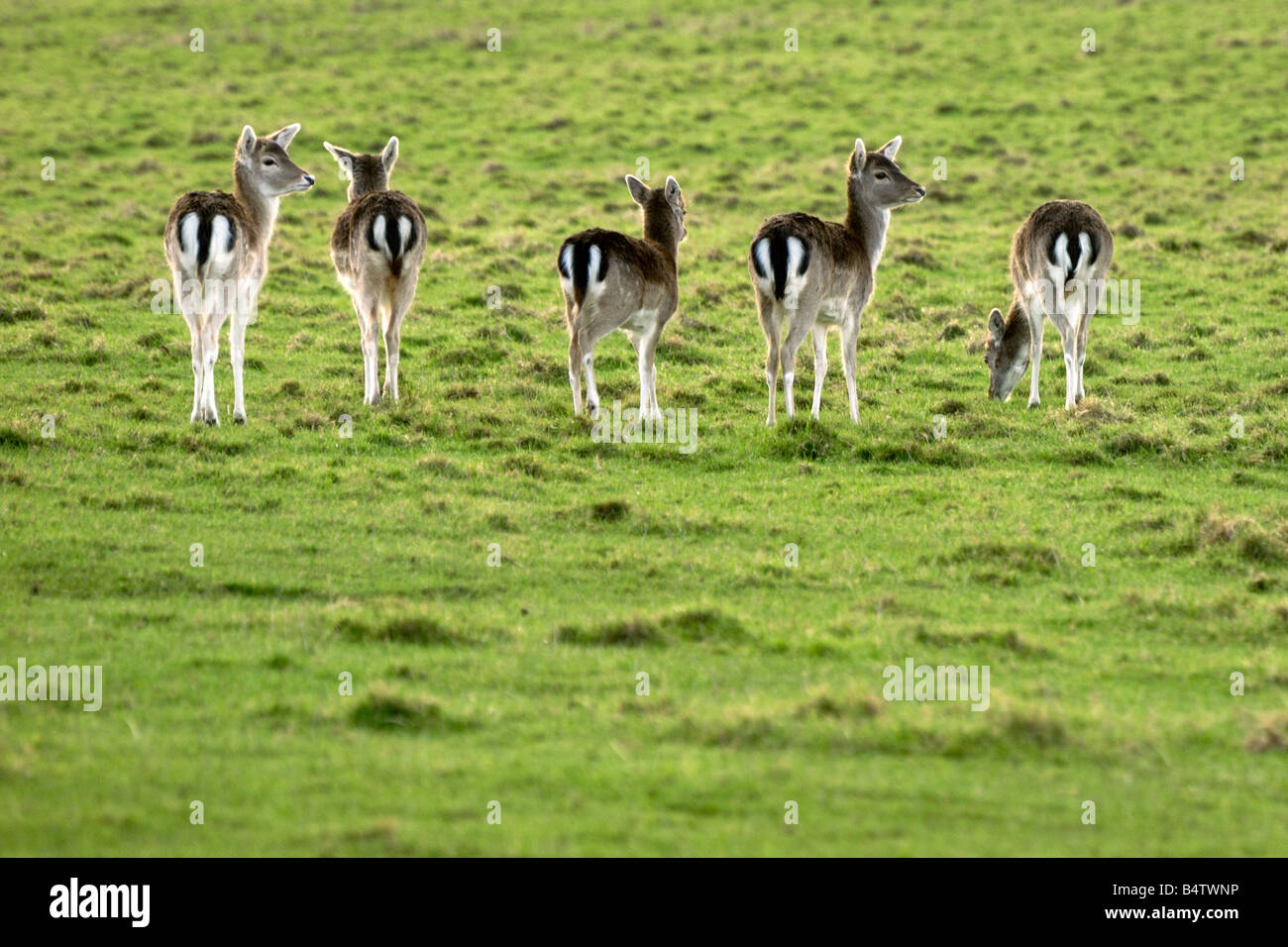 Five female fallow deer in a row showing their black and white marked bottoms Stock Photo
