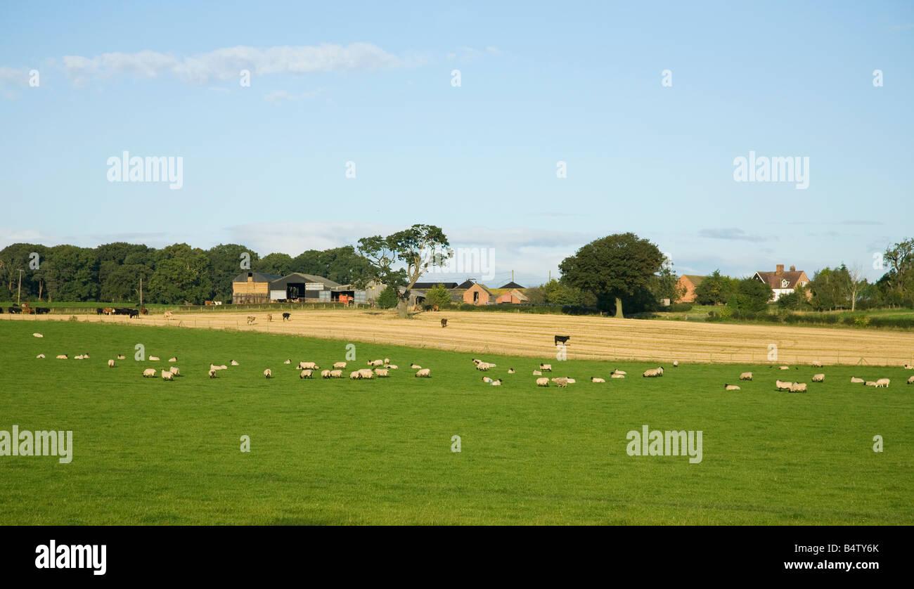Livestock grazing in english meadow outside farm near Shrewsbury in summer sun Shropshire England UK United Kingdom - Stock Image
