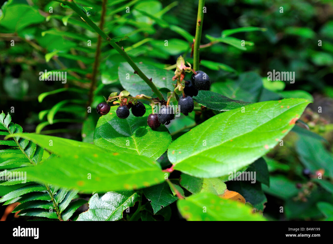 Huckleberries. - Stock Image