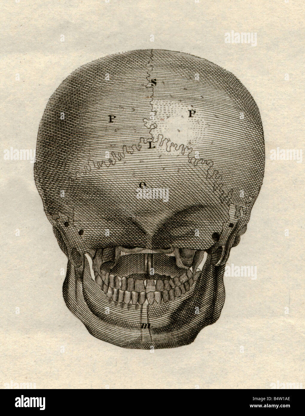 medicine, anatomy, skeleton / bones, skull, back view, steel engraving, Schweinfurt, Germany, second half of the - Stock Image