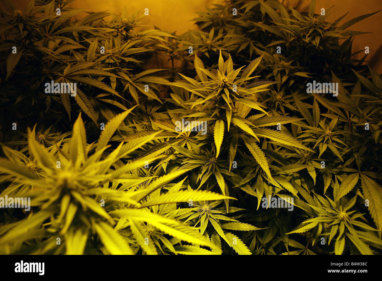 part of a cannabis factory found during police raid in Manchester - Stock Image