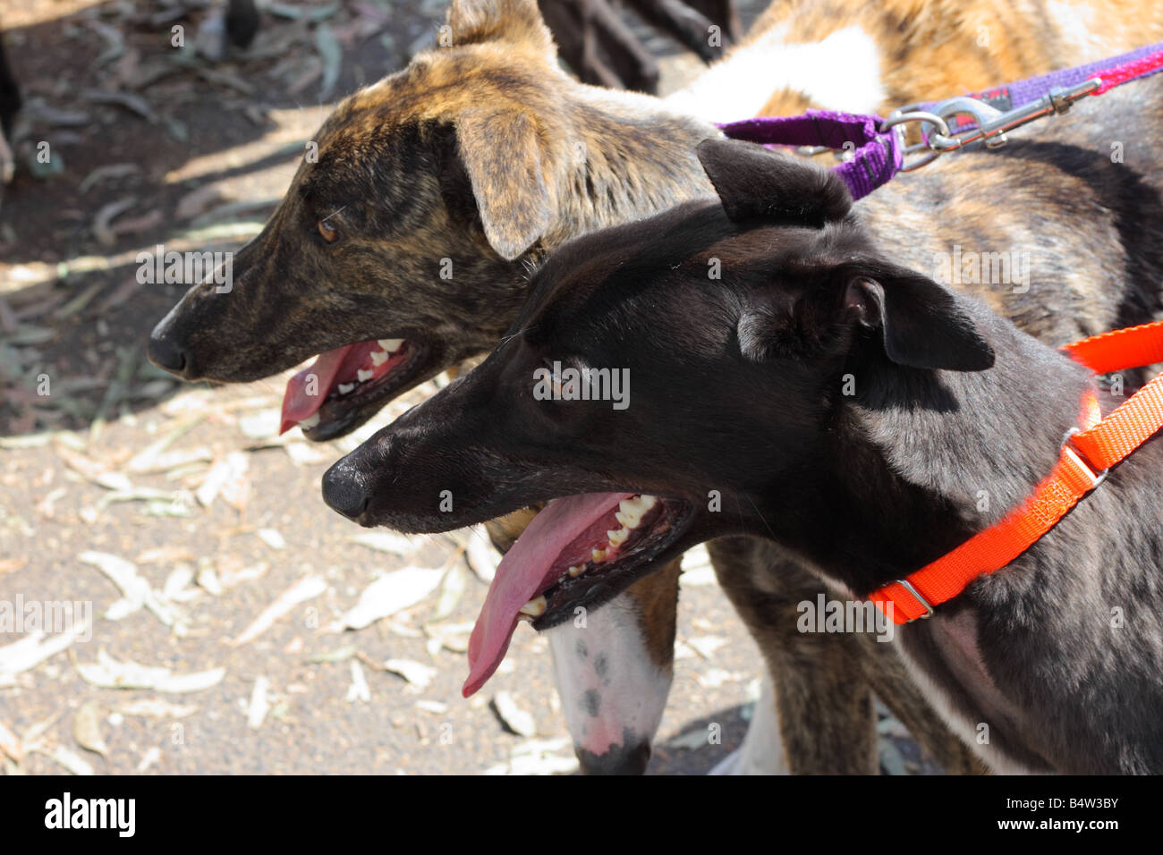 Racing Dogs Rescue - Stock Image