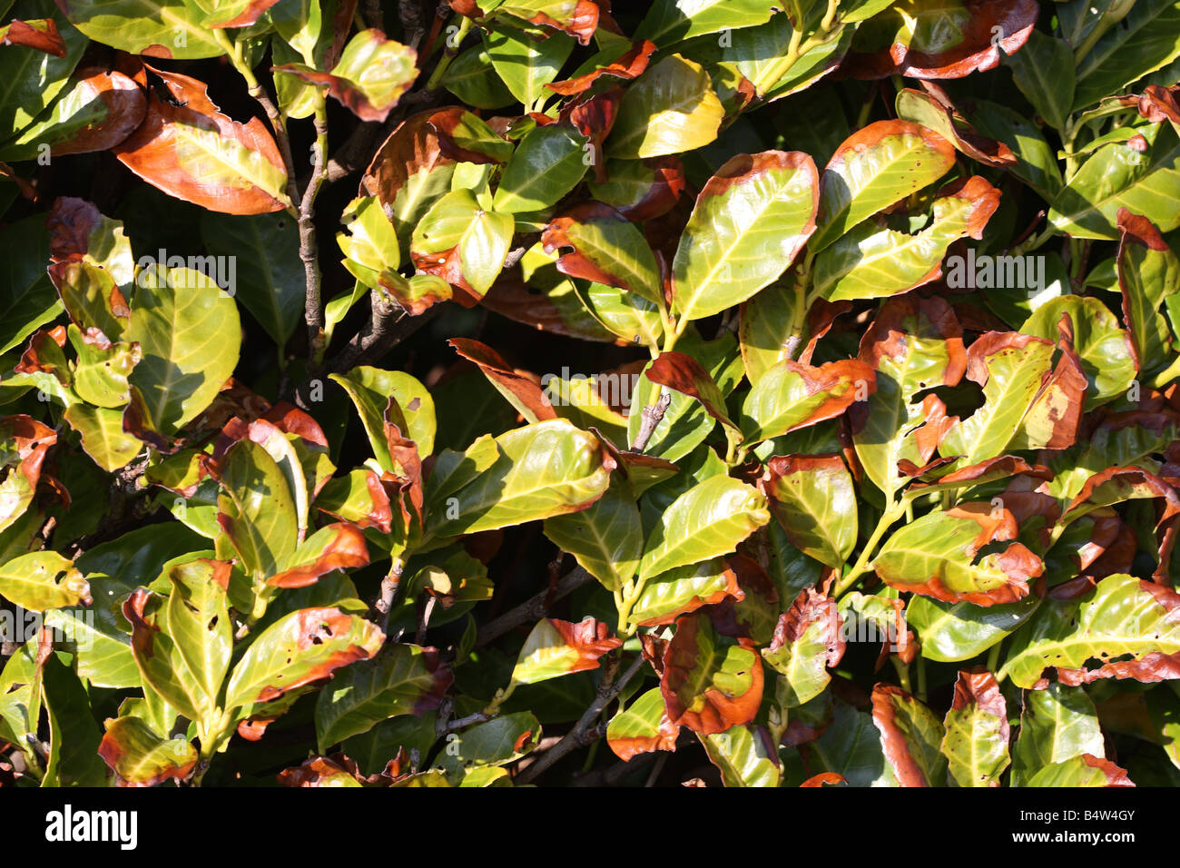 LAUREL SHOWING SIGNS OF FROST AND WIND DAMAGE - Stock Image