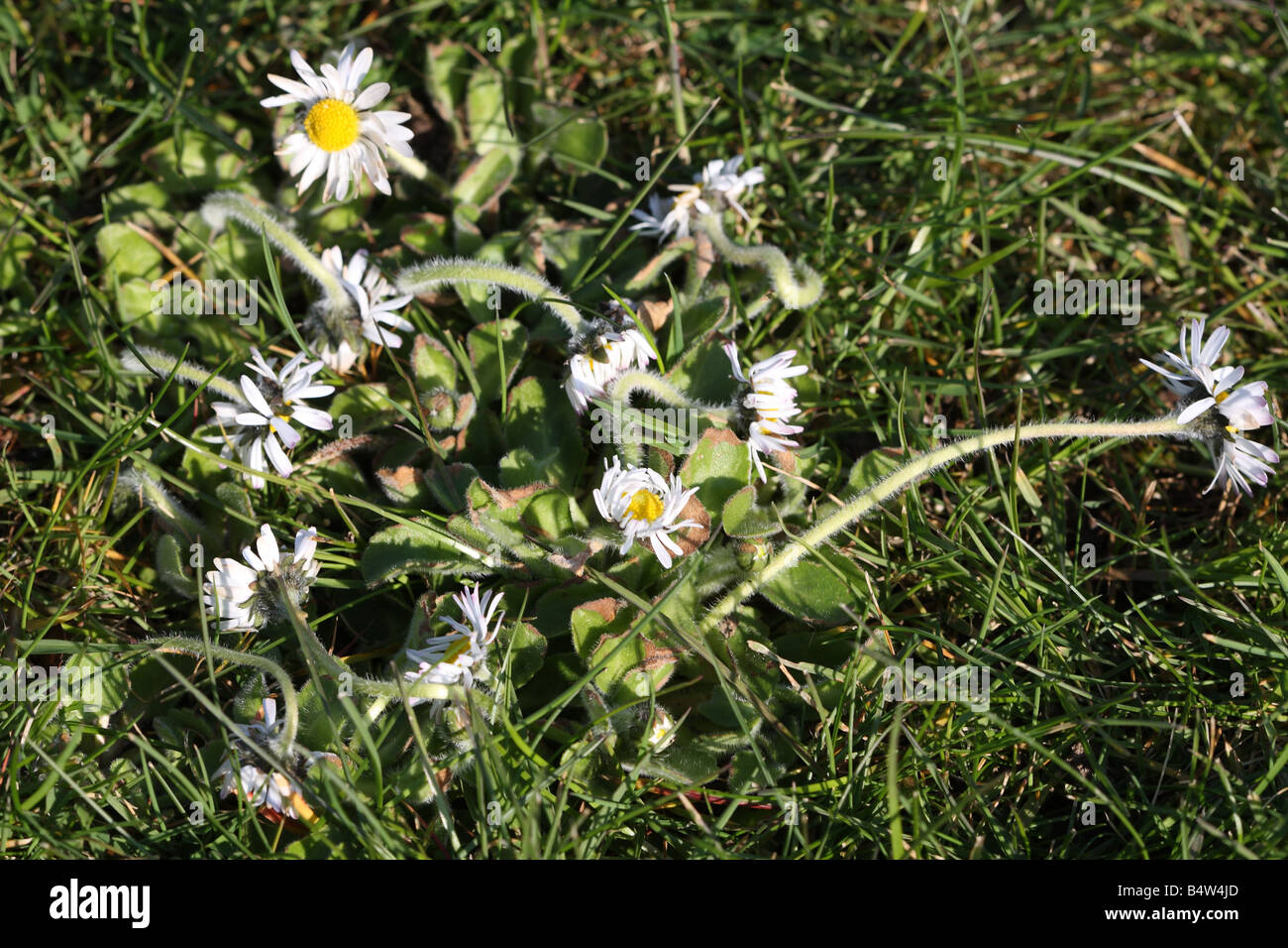 DAISY IN LAWN AFTER TREATMENT WITH WEED KILLER - Stock Image