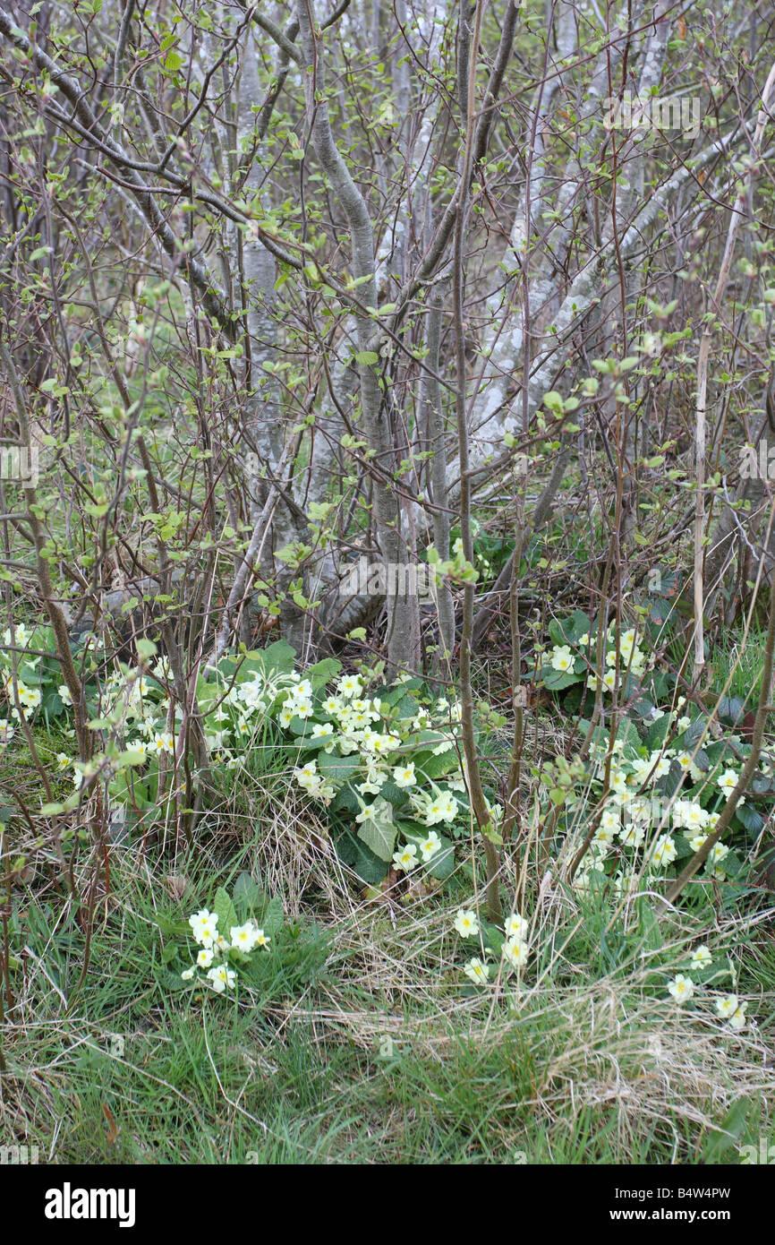 PRIMROSE Primula vulgaris GROW WELL UNDER TREES IN DAMP PLACES - Stock Image