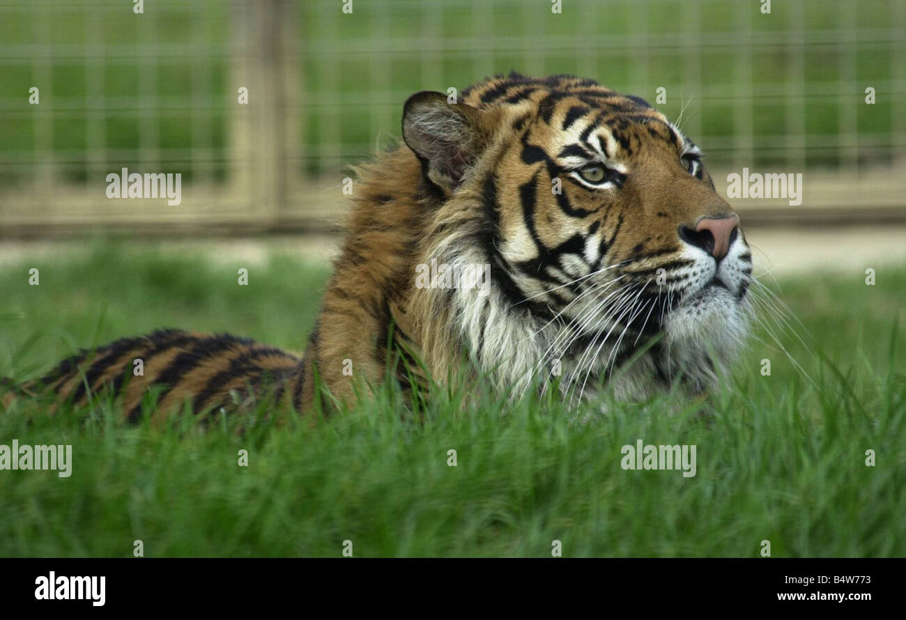 Born Free Foundation Feature 2002 Amanda Holden Actress and Tiger Campaign Patron assists in moving tigers from - Stock Image